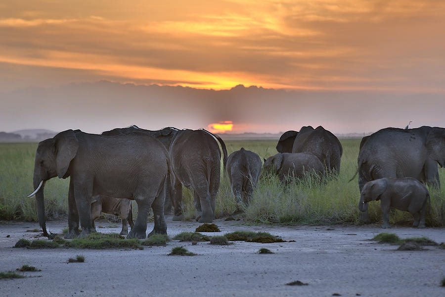 African Elephants At Sunset Photograph by 1001slide