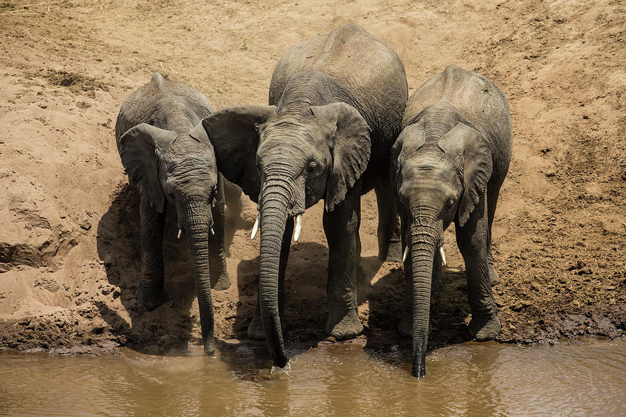African Elephants Drinking From The Photograph by Manoj Shah