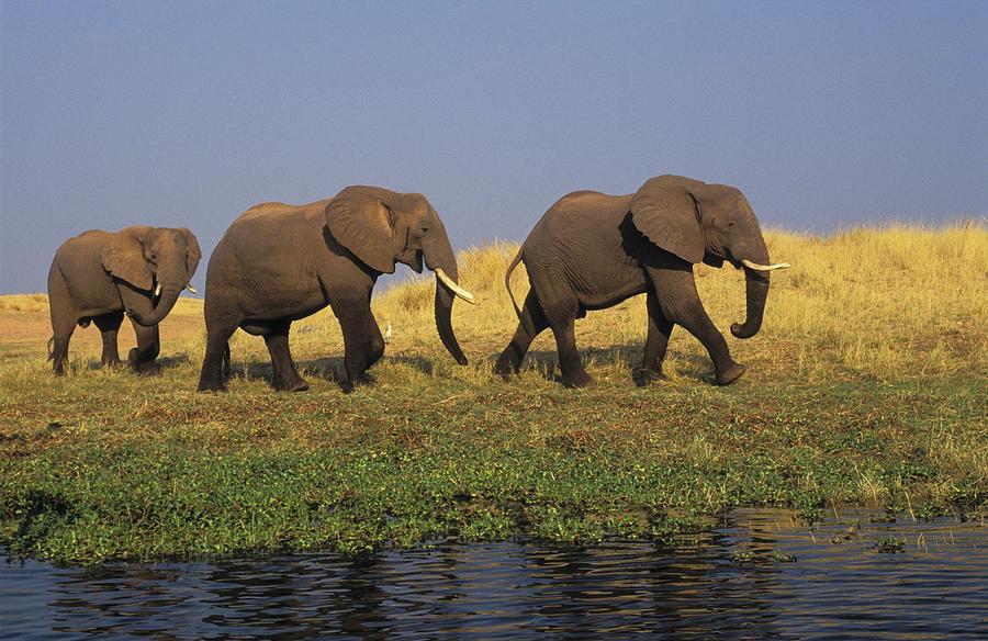 African Elephants Photograph - African Elephants, Lake Kariba by Thomas Kitchin & Victoria Hurst