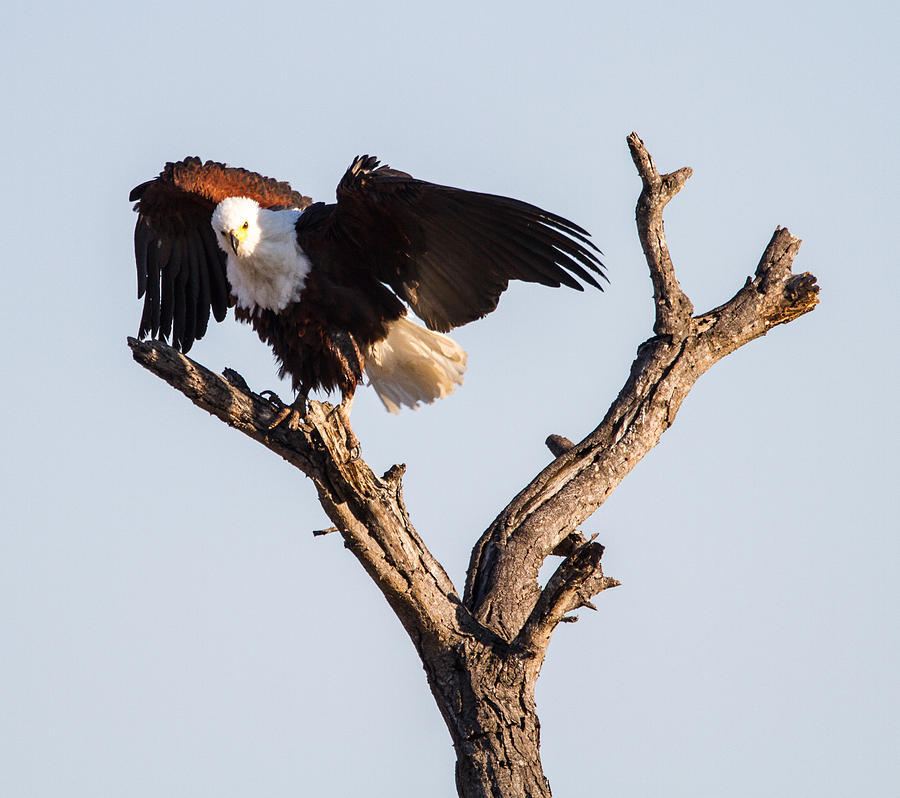 Africa Photograph - African Fish Eagle by Craig Brown