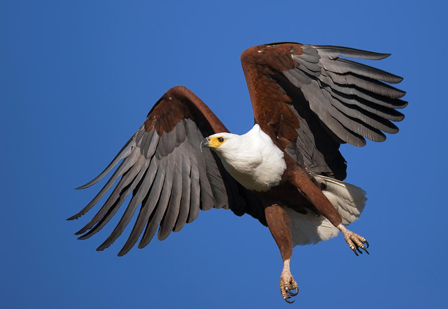 Eagle Photograph - African Fish Eagle by Johan Swanepoel