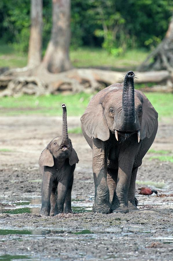 African Forest Elephant Photograph - African Forest Elephant And Calf by Tony Camacho/science Photo Library