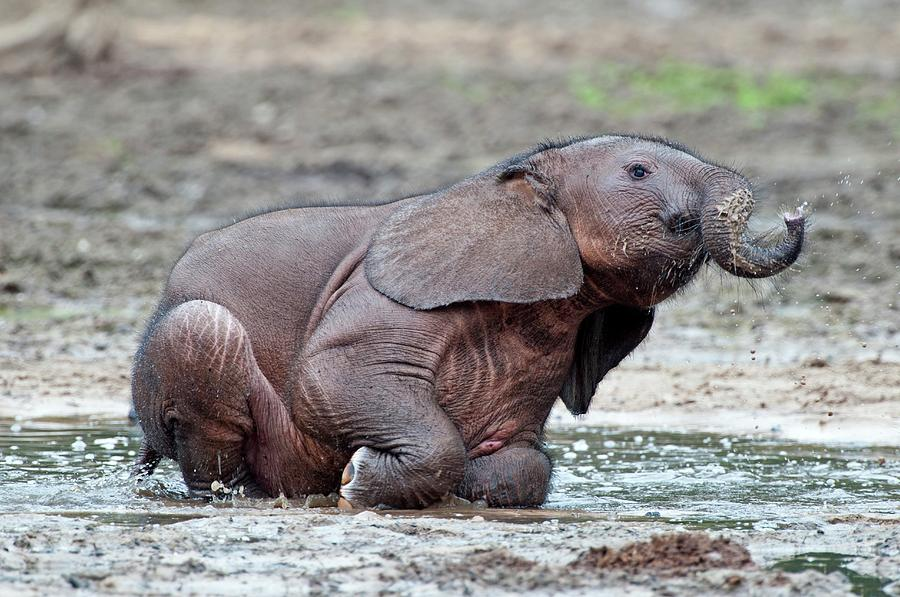 African Forest Elephant Photograph - African Forest Elephant Calf by Tony Camacho/science Photo Library