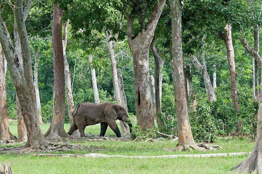 African Forest Elephant Photograph - African Forest Elephant by Tony Camacho/science Photo Library