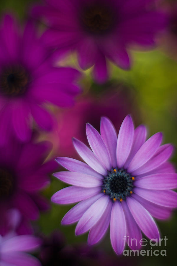 Flower Photograph - African Gerbera Standout by Mike Reid