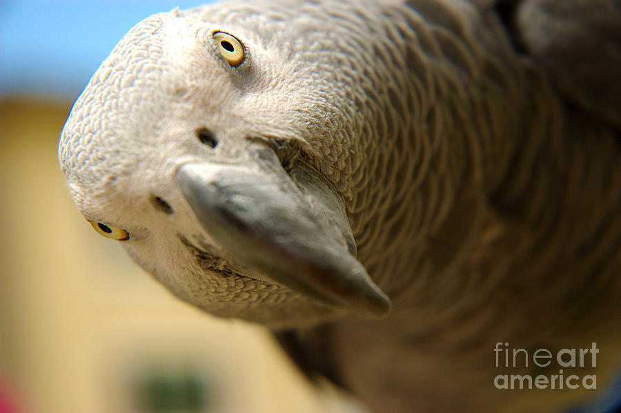 African Gray Photograph - African Gray by Micah May