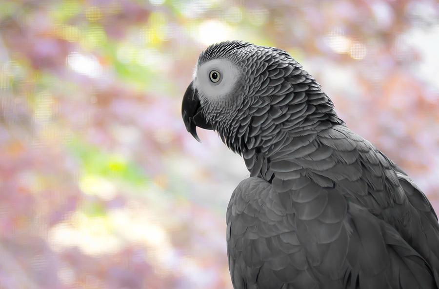 Parrot Photograph - African Grey 3 by Paulina Szajek