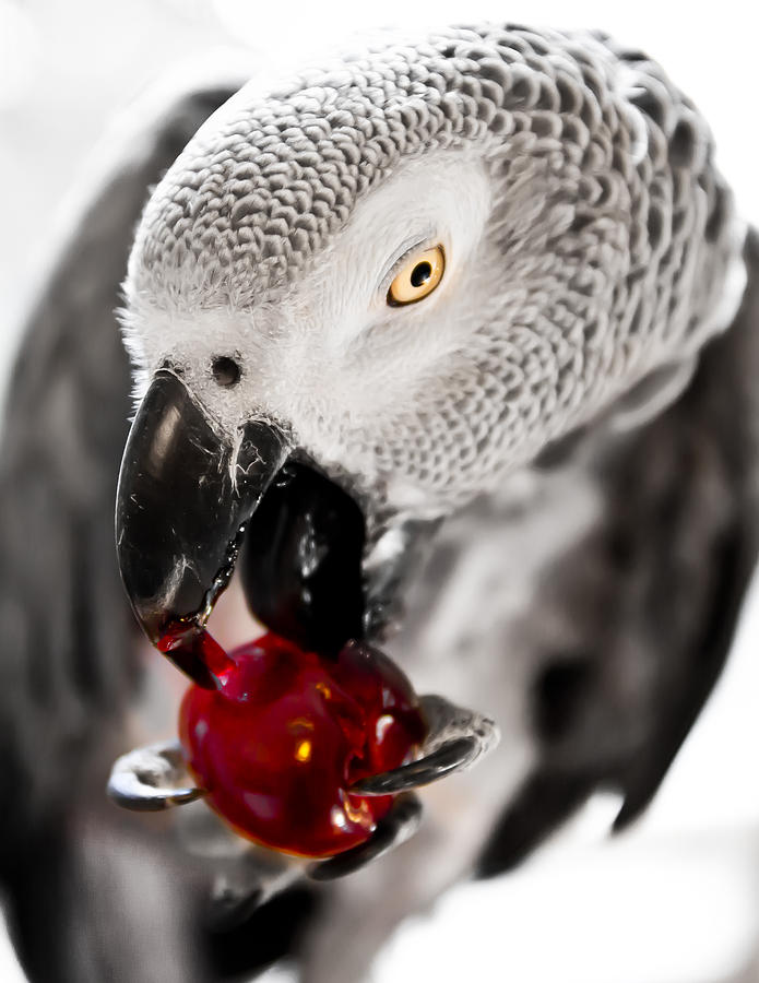 Bird Photograph - African Grey And Cherry  by Paulina Szajek