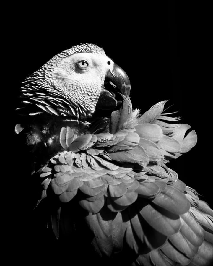 Parrot Photograph - African Grey  by Paulina Szajek