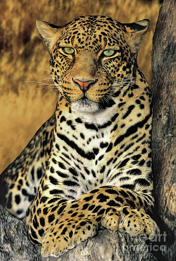 African Leopard Portrait Wildlife Rescue Photograph by ...