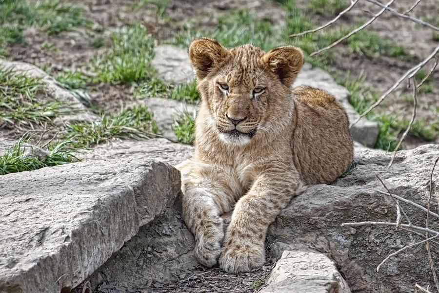 Lion Cub Photograph - African Lion Cub by Tom Mc Nemar