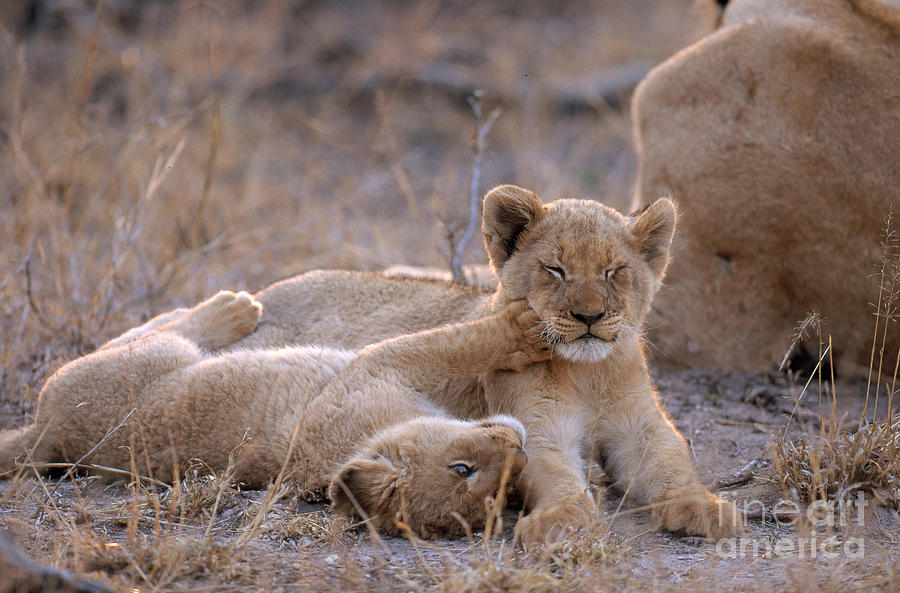 African Lion Cubs Panthera Leo Photograph by Art Wolfe