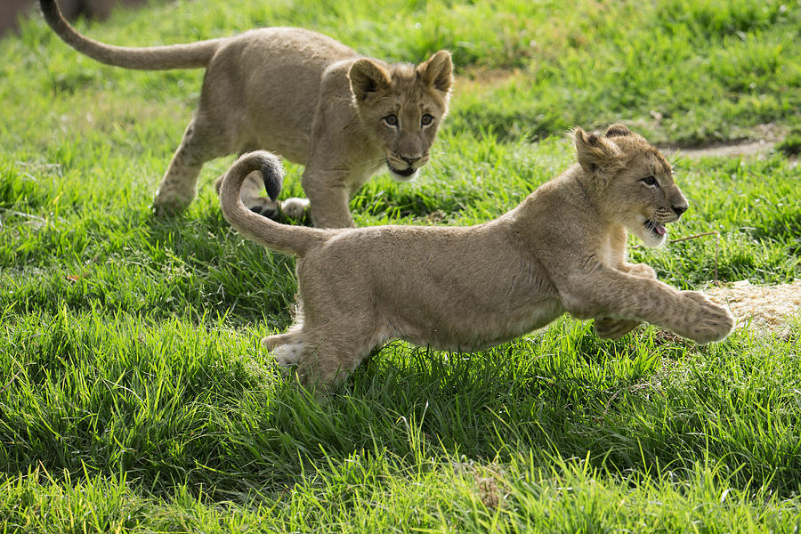 African Lion Cubs Playing Photograph by San Diego Zoo