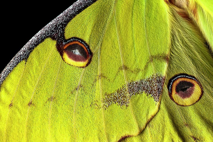 African Moon Moth Photograph - African Moon Moth Wing by Alex Hyde