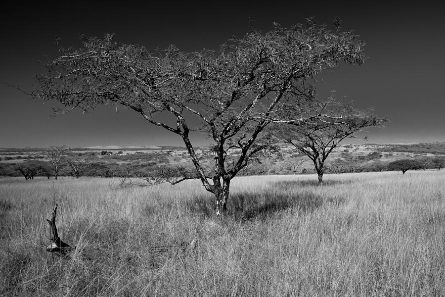 Africa Photograph - African Oak by Scott Moore