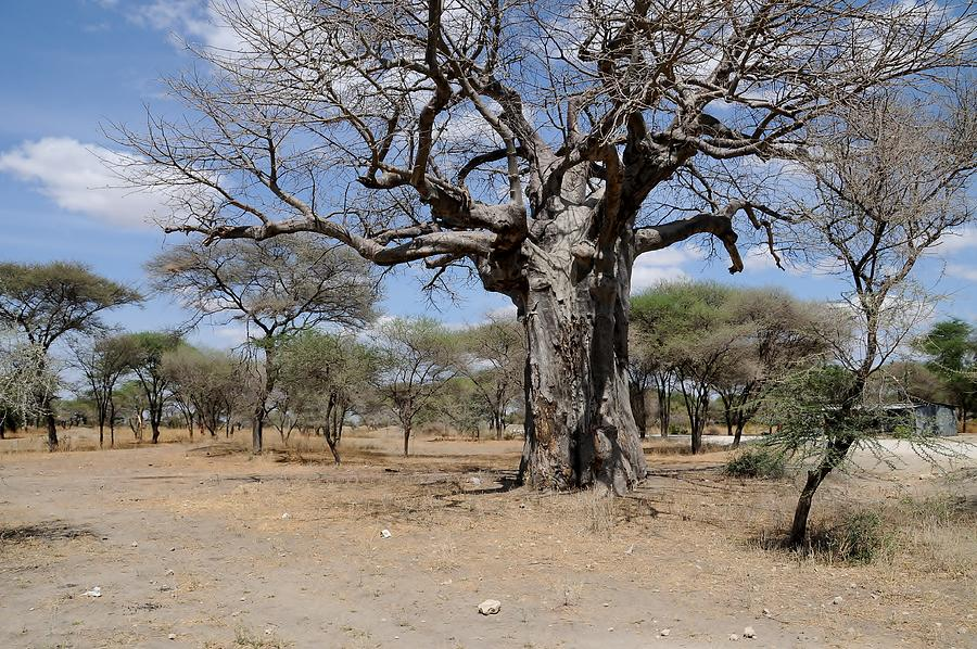 Trees Photograph - African Series 3000 Year Old Tree by Katherine Green