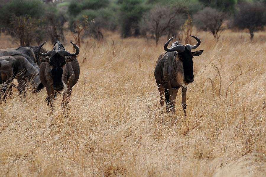 Landscape Photograph - African Series Widerbeest by Katherine Green
