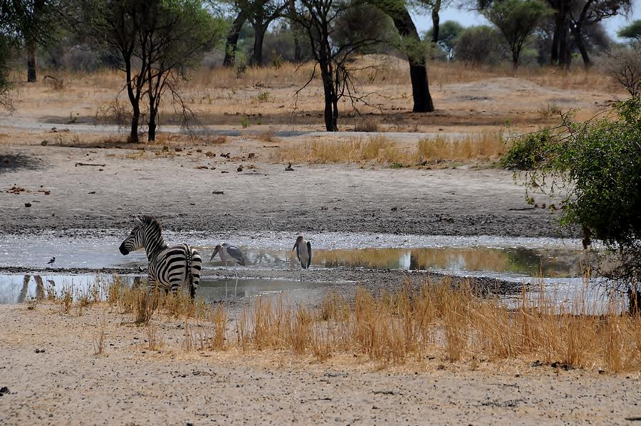 Zebras Photograph - African Series Zebras And Pelican by Katherine Green