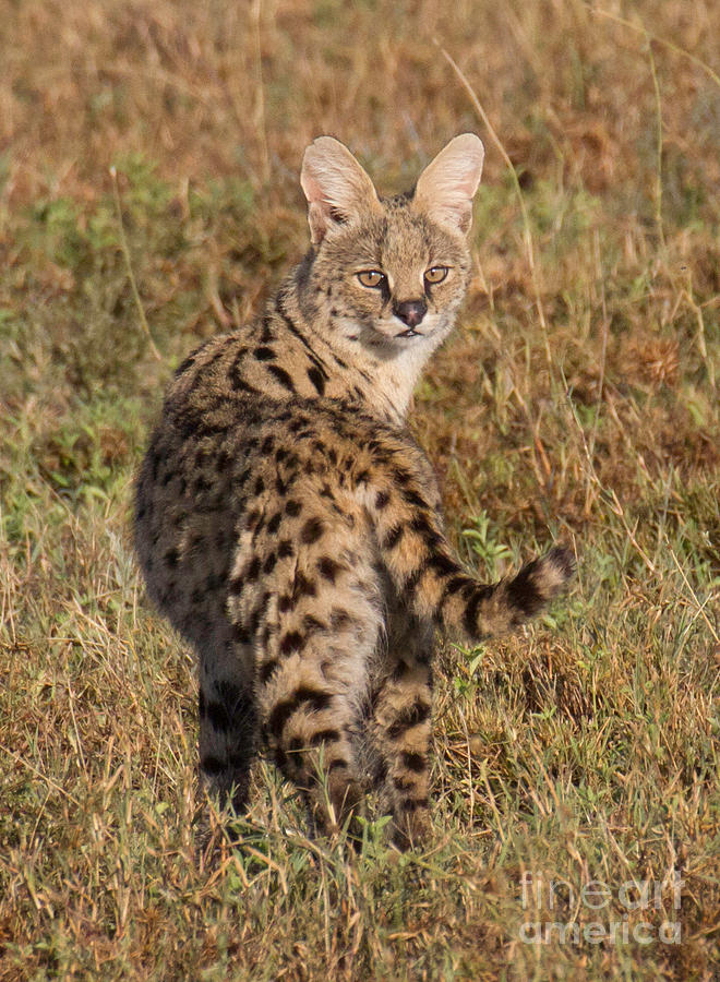 Serval Photograph - African Serval Cat 1 by Chris Scroggins