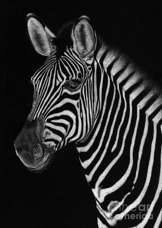 Zebra Drawing - African Stallion by Sheryl Unwin