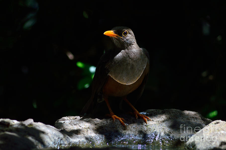 Birds Photograph - African Thrush by Morris Keyonzo