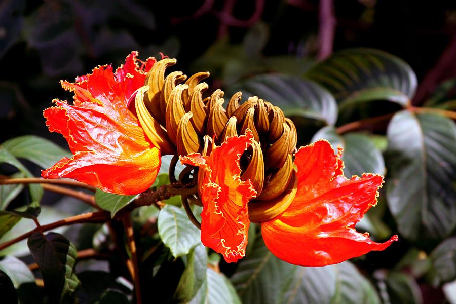 African Tulip Photograph - African Tulips by Karon Melillo DeVega