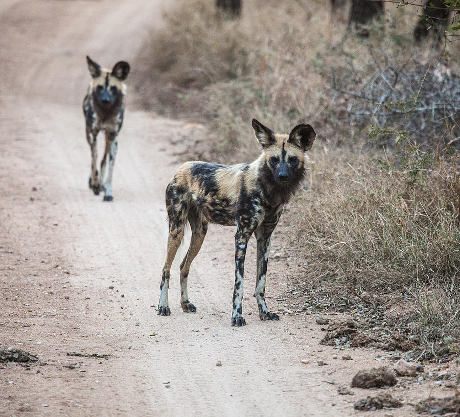 Africa Photograph - African Wild Dogs by Craig Brown