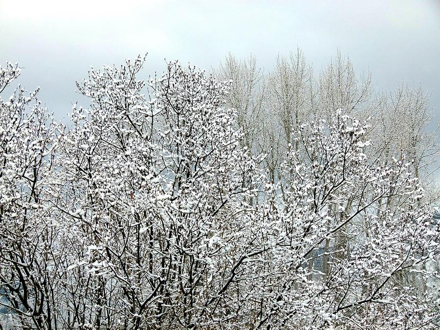 Lilac Bush Photograph - After A Light Snowfall by Will Borden
