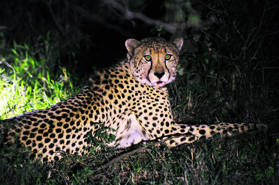 Cheetah Photograph - After Dinner by Jay Walshon MD