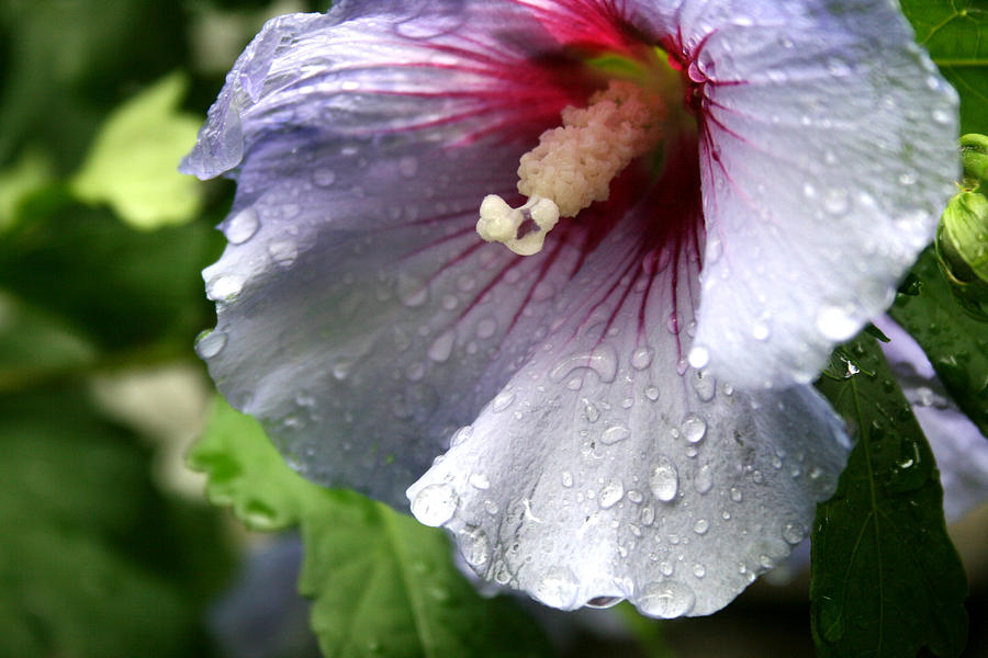 Flower Photograph - After The Rain by Sharon McLain