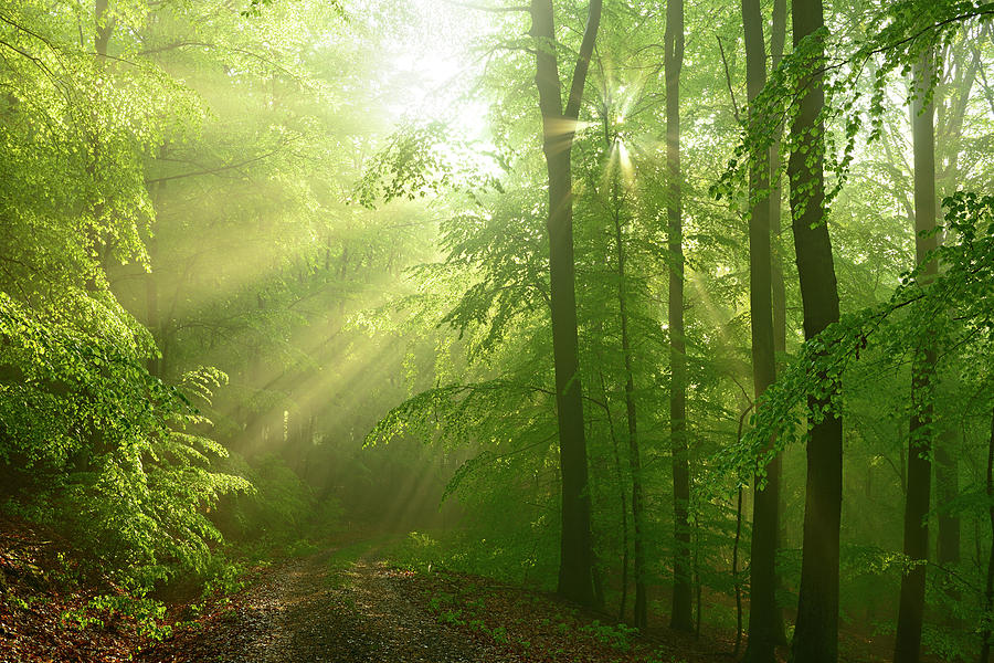 After The Rain - Sunbeams In Damp Beech Photograph by Avtg