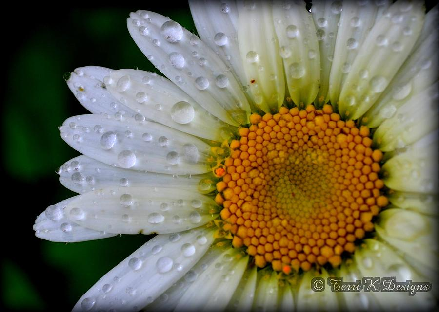Daisy Photograph - After The Rain by Terri K Designs