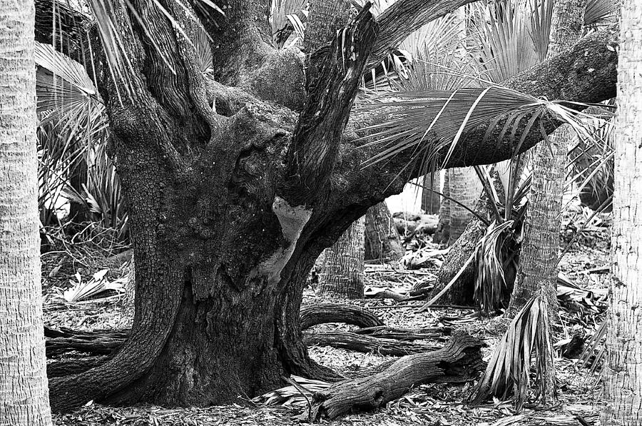 After The Storm I Bw Poster Look Myakka River State Park ...Hurricane Sally 2014