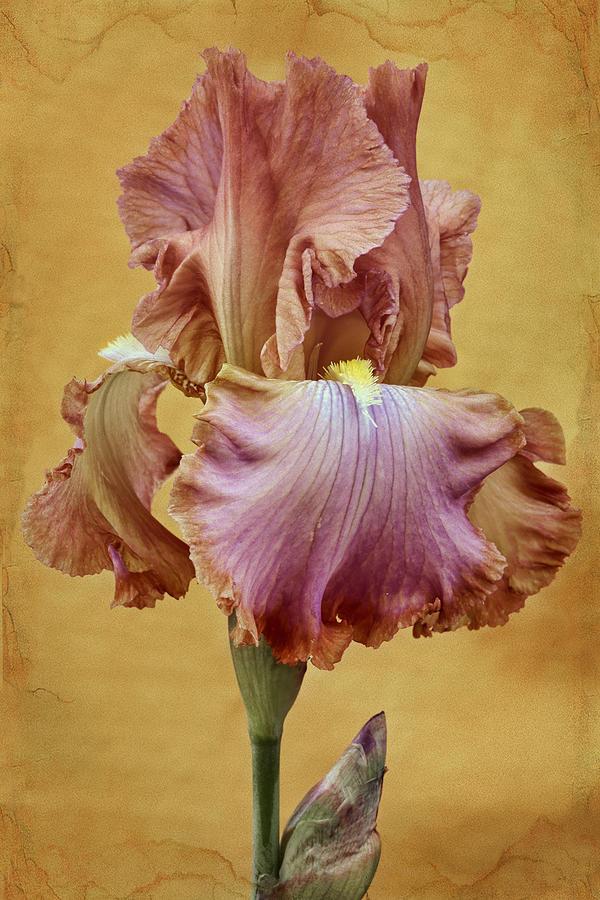 Bearded Iris Photograph - Afternoon Delight - 1 by Nikolyn McDonald