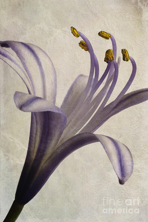 African Star Photograph - Agapanthus Africanus Star by John Edwards