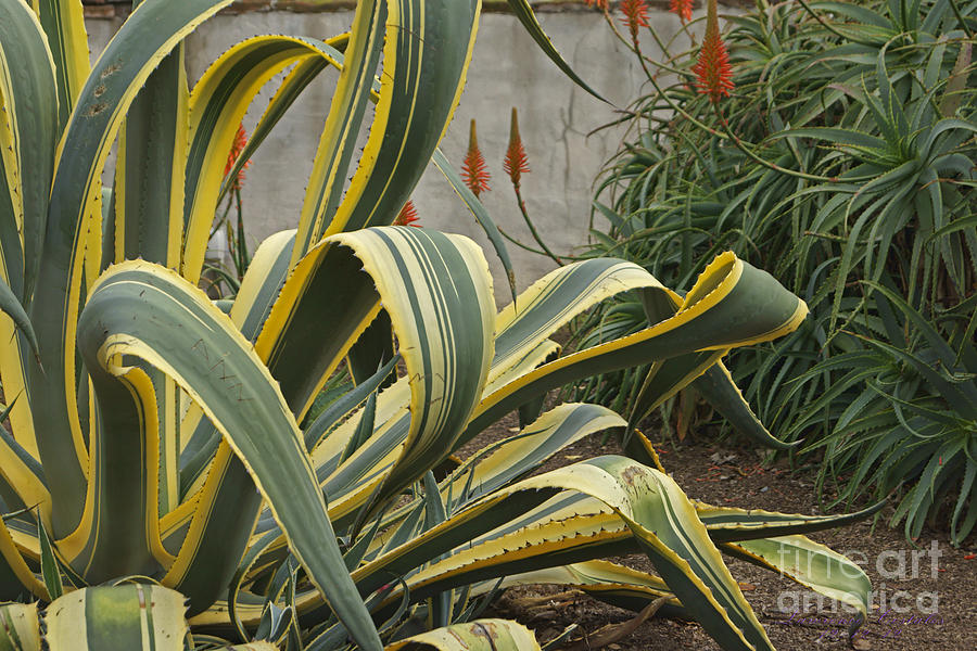 Agave And Aloe Vera Photograph By Lawrence Costales