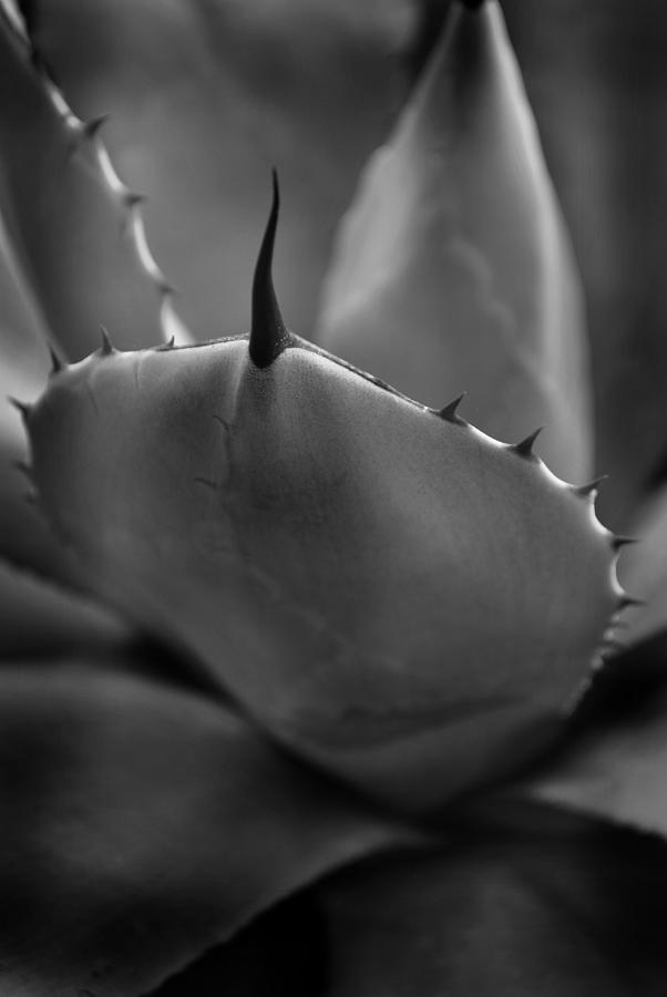 Plant Photograph - Agave Monochrome by Nathan Abbott