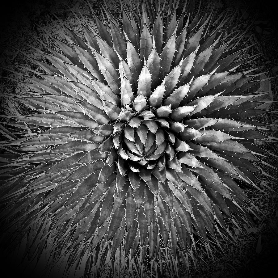 Agave Photograph - Agave Spikes Black And White by Alan Socolik