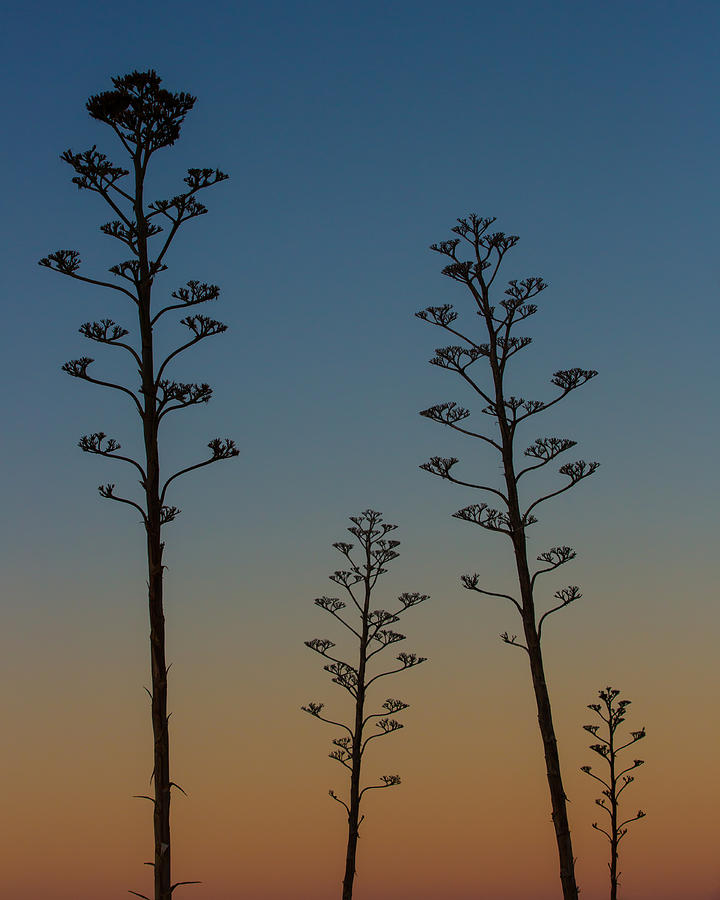 Agavaceae Photograph - Agave Sunset by Mark Hammon