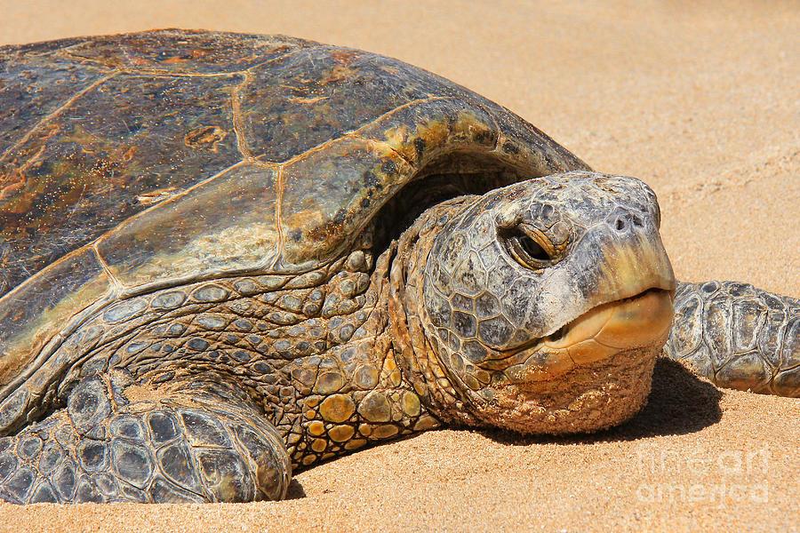 Hawaiian Green Sea Turtle Photograph - Aged Face by Leslie Kirk