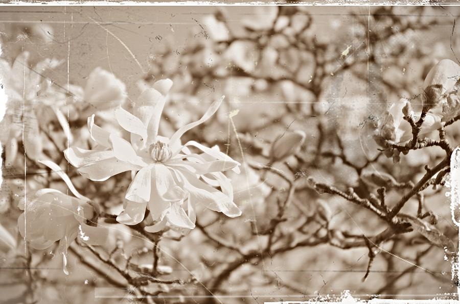 Magnolia Stellata Photograph - Antique Magnolia Bloom by Sharon Popek