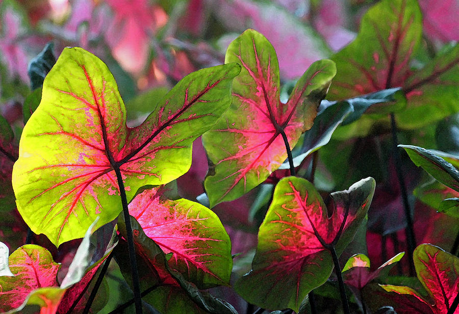 Caladium Photograph - Aglow by Suzanne Gaff