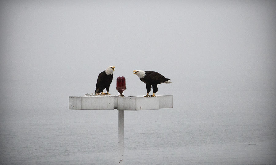 Bald_ Eagle Photograph - Agree To Disagree by Joanna Madloch