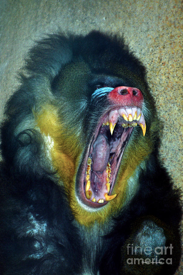 Il Photograph - Agressive Mandrill by Thomas Woolworth
