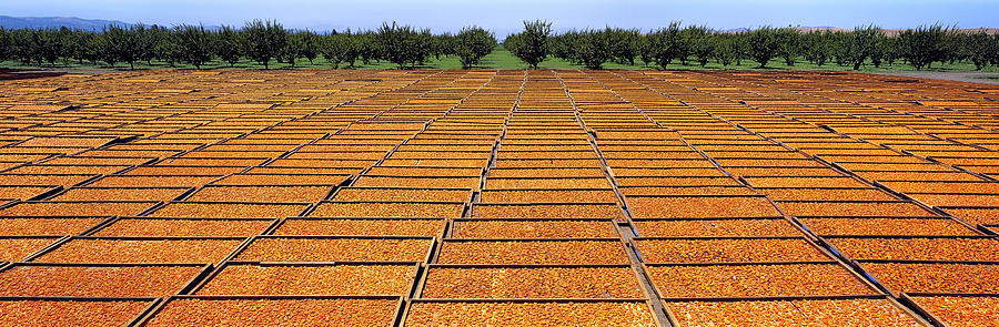 Fresh Photograph - Agriculture - Blenheim Apricots by Randy Vaughn-Dotta