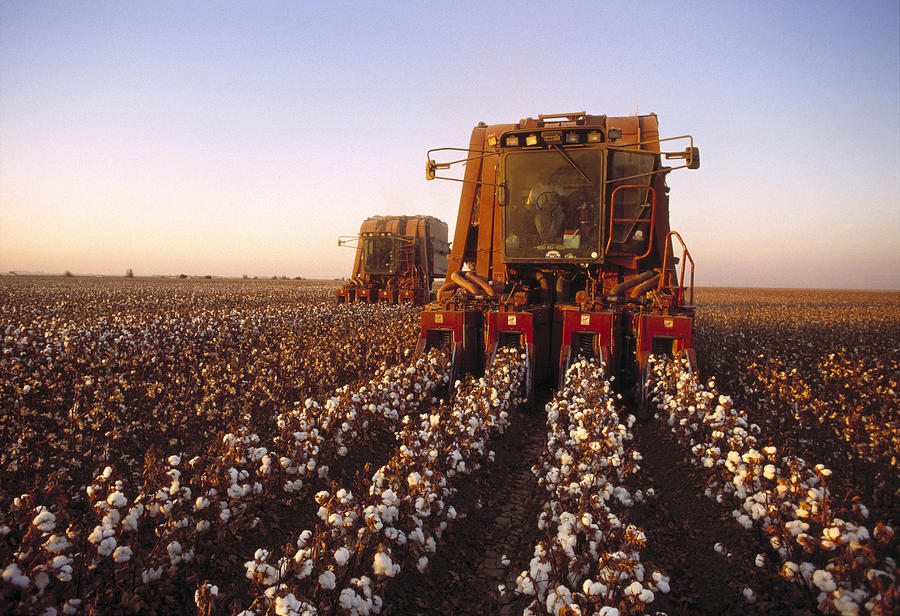 Plant Photograph - Agriculture - Cotton Harvesting  San by Ed Young