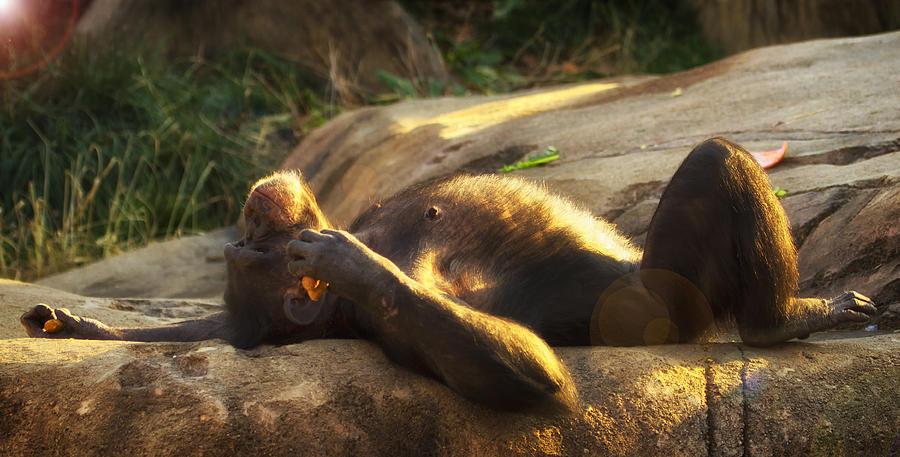 Chimp Photograph - Ahhh The Life   by Linda Tiepelman