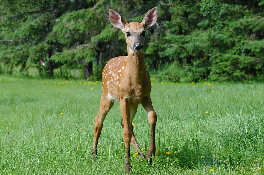 Spotted Fawn Photograph - Ahhhh Cute by Sandra Updyke