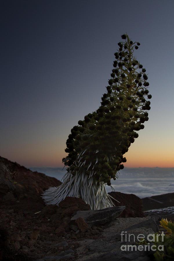 Aloha Photograph - Ahinahina - Silversword - Argyroxiphium Sandwicense - Summit Haleakala Maui Hawaii by Sharon Mau