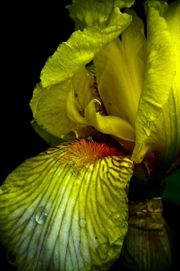 Iris Photograph - Aieris by Joel Loftus